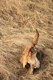 3个北美野牛头骨 图库摄影