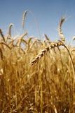 3个域麦子 免版税库存照片