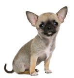 3个奇瓦瓦狗月小狗 免版税库存图片