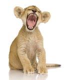 3个崽狮子月 库存图片