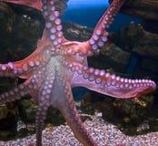 3个巨人章鱼太平洋 库存照片