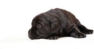 3个年龄黑色拉布拉多小狗猎犬星期 免版税库存照片