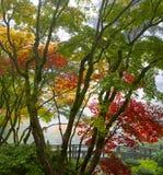 3个机盖秋天鸡爪枫结构树 库存照片