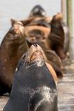 3个狮子海运势利的人 免版税图库摄影