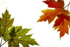 3个由后面照的颜色下跌混合的叶子槭& 免版税库存图片