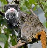 3个皇帝绢毛猴 图库摄影