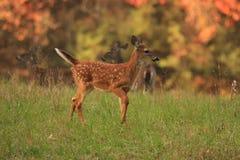 3个秋天小鹿 免版税库存照片