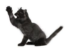 3个美国卷毛小猫月爪子 图库摄影