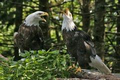 3个老鹰对 库存照片