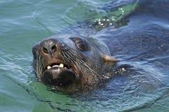 3个非洲人海角南的海狗 免版税库存图片