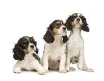 3个骑士查尔斯国王月西班牙猎狗 免版税库存图片