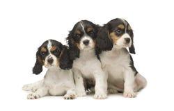 3个骑士查尔斯国王月西班牙猎狗 图库摄影