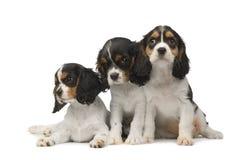 3个骑士查尔斯国王月西班牙猎狗 库存图片