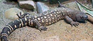 3串珠的蜥蜴墨西哥 库存图片