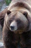 3关闭北美灰熊 免版税库存照片
