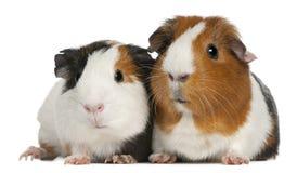 3几内亚位于的老猪年 免版税库存照片