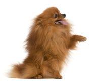 3几年的老爪子波美丝毛狗 免版税图库摄影