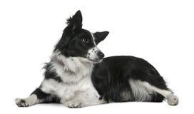 3博德牧羊犬位于的老年 免版税库存照片