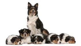 3博德牧羊犬女性老年 免版税库存图片