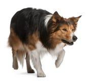 3博德牧羊犬男性老常设年 免版税库存图片