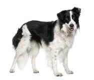 3博德牧羊犬老常设年 免版税库存图片