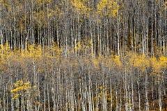 3卷白杨木科罗拉多秋天森林 库存图片