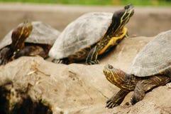 3只乌龟 免版税库存图片