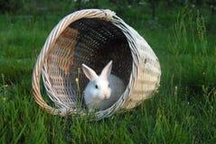 3只兔子白色 库存图片