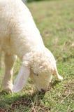 3只域绿色绵羊 免版税库存照片