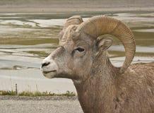 3只大角野绵羊 免版税库存照片