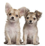 3只奇瓦瓦狗月小狗坐 库存图片
