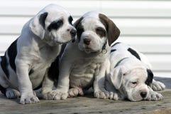 3只小狗 免版税库存照片