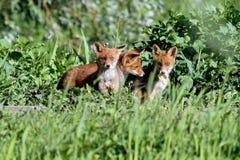 3只小的狐狸 免版税库存图片