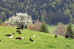 3只山牧场地绵羊 免版税库存图片