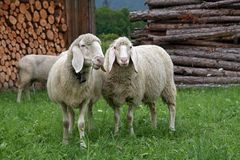 3只山绵羊 库存图片