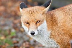 3只狐狸红色 库存图片