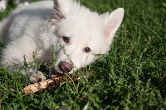 3只狗绵羊瑞士白色 库存照片