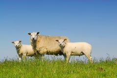 3只绵羊 库存图片