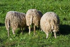 3只绵羊 免版税库存照片