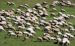 3只绿色牧群草甸绵羊 免版税图库摄影