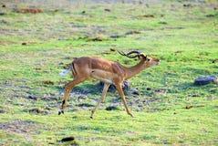 3只羚羊跳 库存图片