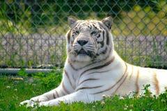 3只老虎白色 免版税库存照片