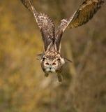 3只老鹰飞行猫头鹰 免版税图库摄影