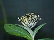 3只蝴蝶异乎寻常的海岛普吉岛泰国 免版税库存图片