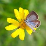 3只蝴蝶蜂蜜吮 库存图片