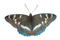 3只蝴蝶limenitis populi ussuriensis 免版税图库摄影