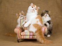 3只逗人喜爱的小猫波斯红色白色 免版税库存照片