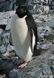 3只阿德力企鹅企鹅 免版税库存图片