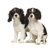 3只骑士查尔斯国王月小狗西班牙猎狗 库存照片