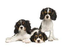 3只骑士查尔斯国王月小狗西班牙猎狗 免版税图库摄影
